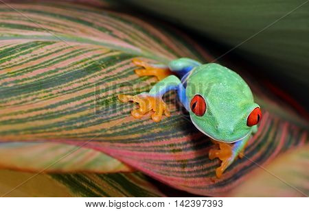 Red eye tree frog on patterned leaf looking forward with copy space.