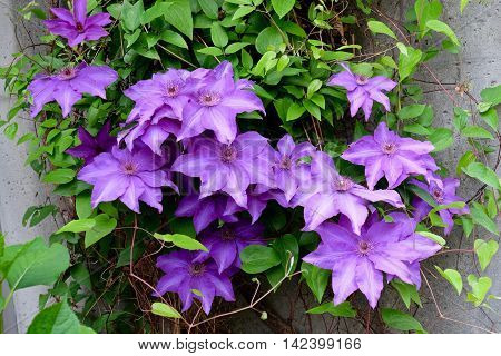 Large clematis purple flowers at Simon Fraser University garden Vancouver Britihs Columbia Canada.