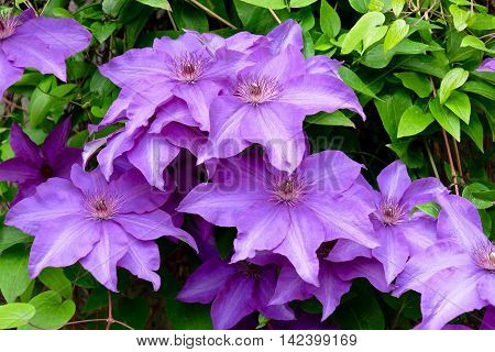 Clematis purple flowers at Simon Freser University garden, Vancouver,  Britihs Columbia Canada.