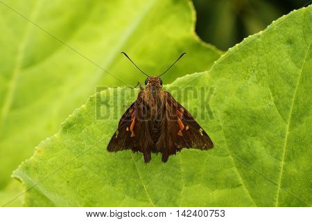 Brown hesperiid butterfly photographed on a leaf.