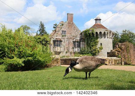 goose and garden in Kent in England