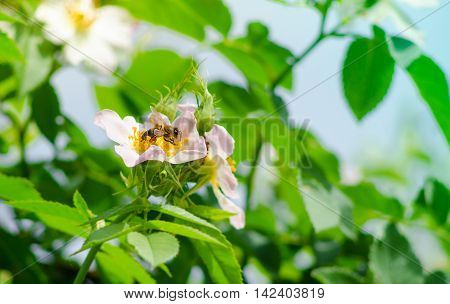 A bee on a flower. A bee collects nectar on a flower of wild rose.