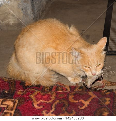 Red Cat Caught A Gray Mouse