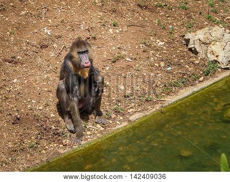 JERUSALEM ISRAEL - MAY 8: Mandrill Monkey or Mandrillus sphinx in Biblical Zoo in Jerusalem Israel on May 8 2016