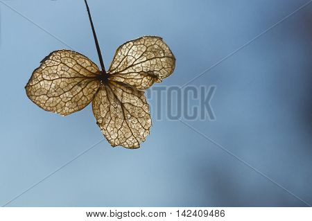 An amber backlit solitary withered hydrangia leaf on an expansive blue background