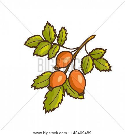 Wild rose hips. Vector Illustration. Isolated on white.