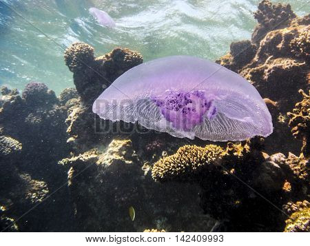 Jellyfish in open water in tropical sea
