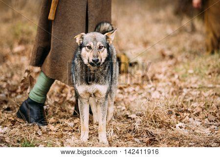 Mixed Breed Hunting Dog rests at feet of man outdoor. Autumn season