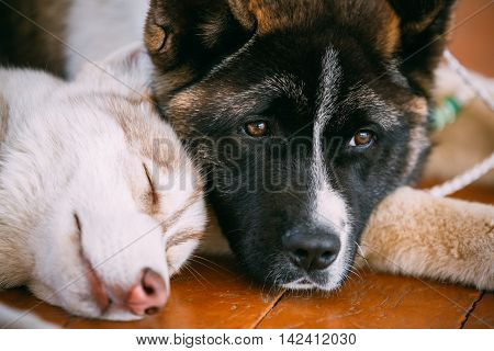 Young Happy Husky Puppy Dog And American Akita Sleeping Together