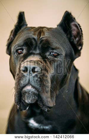Black Adult Cane Corso Close Up Portrait