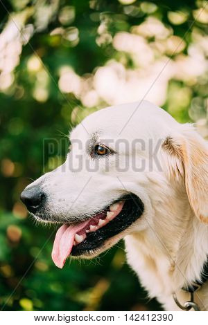 The Portrait Of Staring Head Muzzle In Profile Of Yellow Golden Labrador Retriever  Dog Or St. John's Water Dog With Ajar Jaws, Tongue.  Boke Bokeh Green Nature Background.