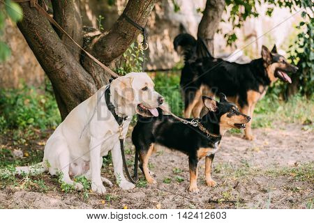 Yellow Golden Labrador And Two Another Mixed Breed Black Dogs Tied To The Tree And Waiting On Leash.