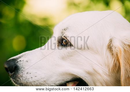 Side View Portrait Of Staring Yellow Golden Labrador Retriever Dog Or St. John's Water Dog. Close-Up Head Muzzle.  Boke Bokeh Green Yellow Background.