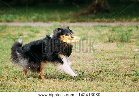 Playing Frisbee Freestyle With Plastic Yellow Disk The Tricolor Pirebred Rough Collie, Scottish Collie, Long-Haired Collie, English Collie, Lassie Adult Dog On Green Trimmed Lawn.