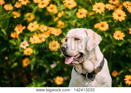 Close Up Smiling With Tongue, Staring Eyes Yellow Golden Labrador Adult Female Dog Sitting Posing On The Trimmed Lawn Of Garden. The Bright Yellow Flowers Background.