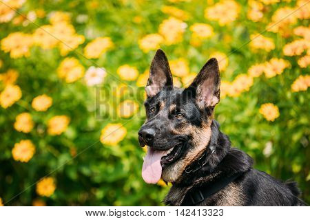 The Portrait Of Staring Purebred Short-Haired German Shepherd Adult Dog Or Alsatian Wolf Dog With Prick-Ears, Opened Jaws, Tongue, Teeth. Bright Copyspace.