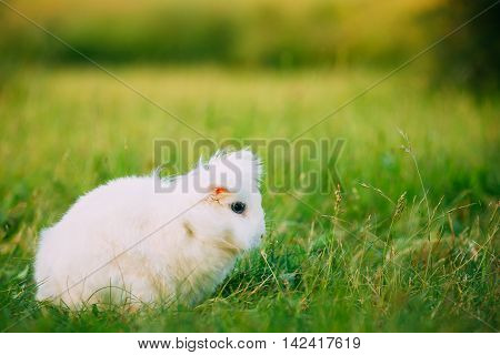 Cute Dwarf Lop-Eared Decorative Miniature Snow-White Fluffy Rabbit Bunny Mixed Breed With Blue Eyes Sitting In Bright Green Grass Of Garden, Copyspace Background.