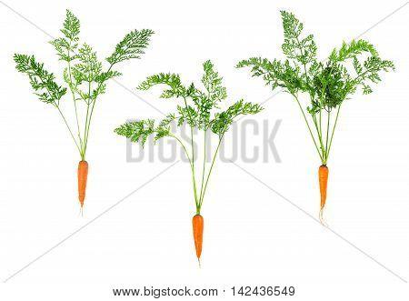 Set Of Fresh Carrots