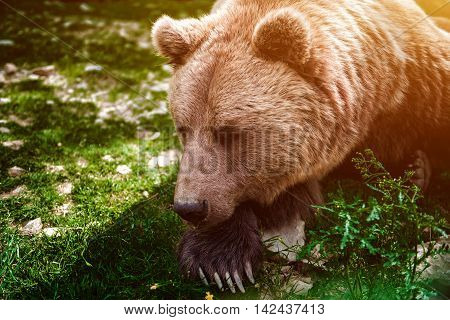 Big brown bear in the forest, sleeping, having a rest