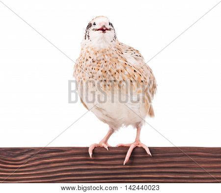 Cute adult quail on the perch isolated over white background