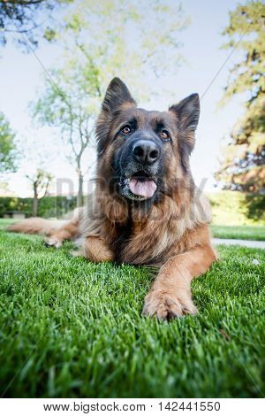 german sheperd laying in the grass. shoot from the bottom up