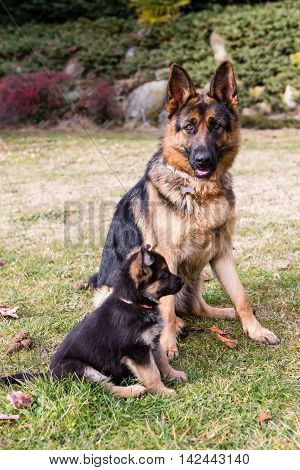 german shepherd in the garden: mother and son