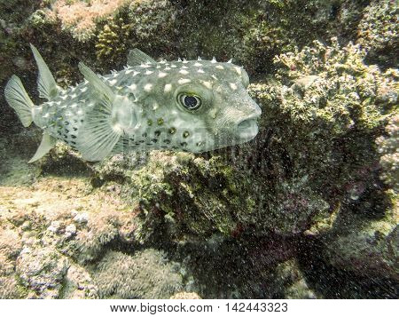 Coffer-fish not stressed but surprised by the diver