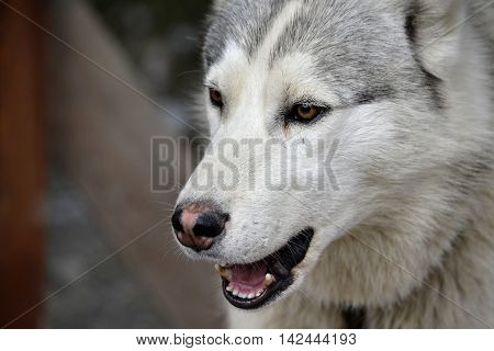 Husk dog breed's head close-up of gray color with an open mouth