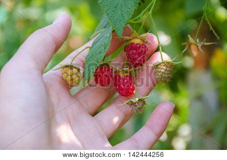 Women's Hands Picked The Ripe Raspberries From Bush In The Garden