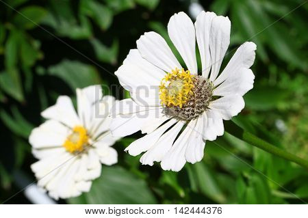 Garden flower camomile with peslte and stamens
