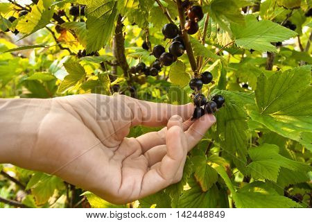 hand picking berries of black currant in the garden