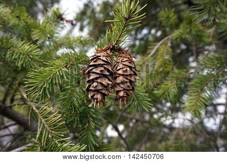 Pine cones, needles and branches of a Douglas fir tree (Pseudotsuga menziesii) during March in Joliet, Illinois.