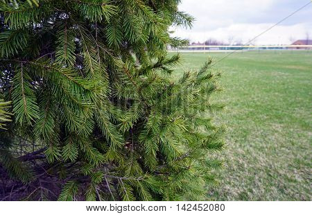 Needles and branches of a Douglas fir tree (Pseudotsuga menziesii) during March in Joliet, Illinois.