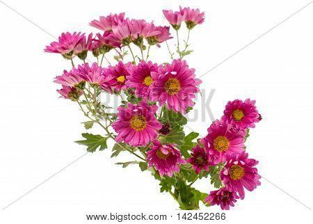 chrysanthemum floral, florescence, flower on white background