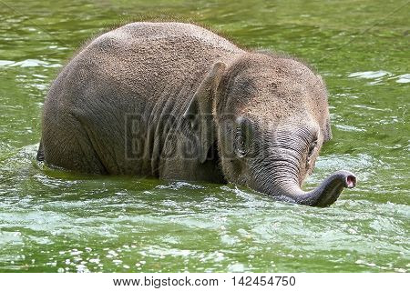 Litte baby elephant playing in water in its habitat