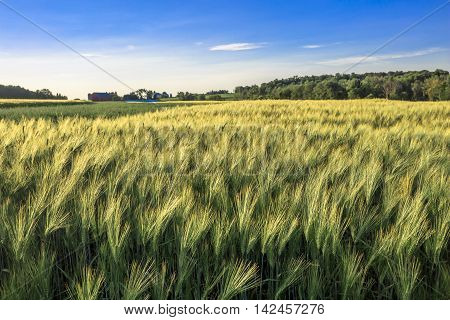 A field of wheat in front of a Wisconsin farm in July.