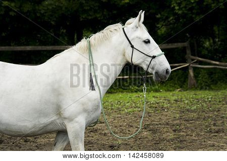 white horse with light mane and tail stands on the ground in the paddock near the wooden fence