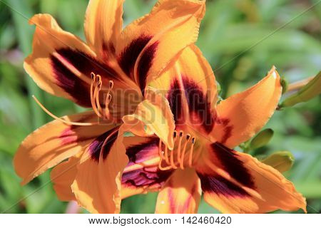 Gorgeous orange and maroon Tiger Lilies in landscaped garden