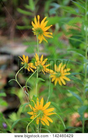 Pretty little yellow wild flowers in backyard garden