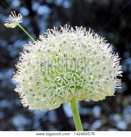 White Agapanthus flower in Humber Bay Park on bank of the Lake Ontario in Toronto Canada May 31 2016
