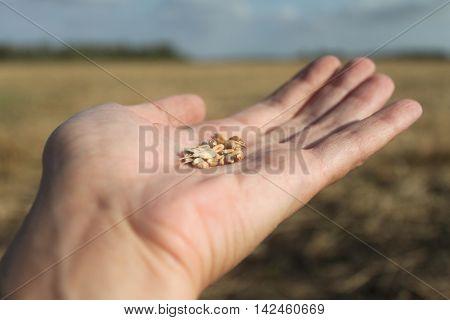 hand pouring ripe rye grain hand pouring ripe rye grain