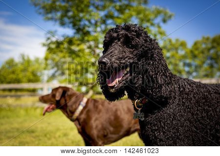 Funny black standard poodle standing in picturesque field with chocolate Lab friend