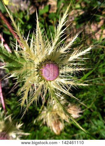 Prickly grace. Thistle flower in the Caucasus Mountains.
