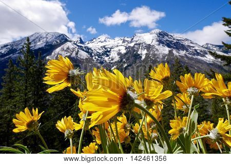 Arnica flowrer and snow capped mountains. Fourth of July Trail near Leavenworth and Seattle Washington state USA.