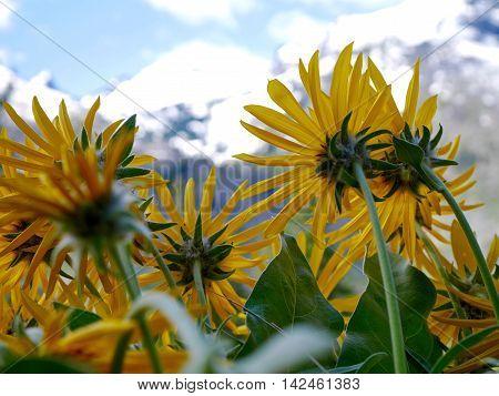 Yellow sun flowers near Fourth of July Trail,  Leavenworth and Seattle Washington state USA.