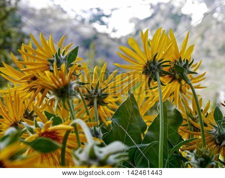 Arnica flowers at Fourth of July Trail near Leavenworth and Seattle Washington state USA.