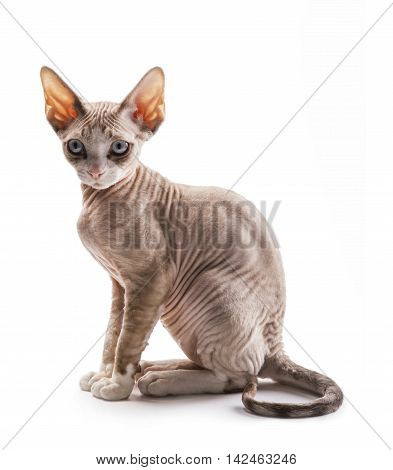 Kitten of breed Devon Rex on white background