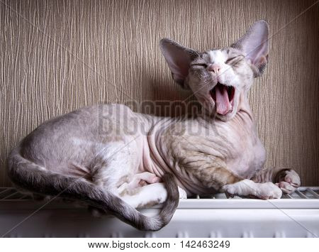Yawning kitten breed Devon Rex on the heating battery