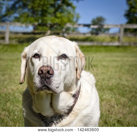Solemn looking close up of yellow Lab looking at viewer with countryside behind