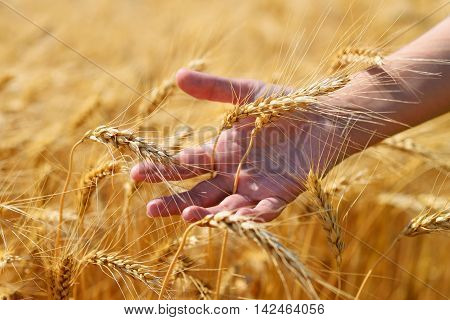 Golden ears in hand on wheat field